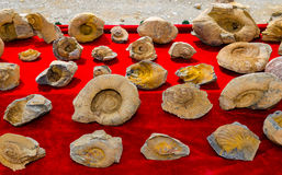 Fossilized seashells on a red background Royalty Free Stock Photo