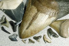 Fossilized shark teeth. Excavated from an open mine in Florida, USA. The three largest specimens are from the extinct giant great white shark (Carcharocles royalty free stock image