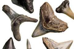 Fossilized shark teeth. Isolated on a pure white background royalty free stock photo