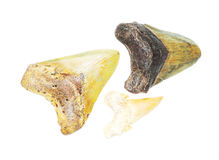 Fossilized shark tooth Royalty Free Stock Photos