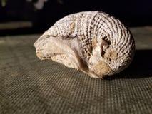 Fossil shell appears like sleeping armadillo stock photo