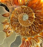 Fossilized shells. Detail of old fossilized seashells stock photos