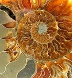 fossilized skal Arkivfoton