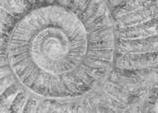 Fossilized Snail. Macro image of a fossilized snail Royalty Free Stock Image