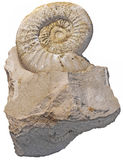 Fossilized snail Royalty Free Stock Image