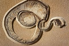 Fossilized snake coiled in death. Fossil snake coiled and ready to strike Royalty Free Stock Image