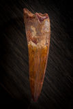 Fossilized Spinosaurus Maroccanus Tooth against wood background. Late Cretaceous fossilized dinosaur tooth Stock Image