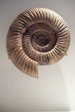 Fossilized spiral ammonite. This petrified ammonite fossil has the classic spiral shape. Ammonites are an extinct group of marine mollusc animals. Ammonite share royalty free stock photos