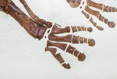 Fossilized stopa prehistoryczny zwierzę obrazy stock