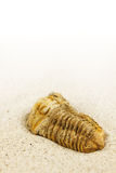Fossilized trilobite Royalty Free Stock Images