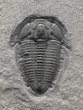 Fossilized trilobite. stock photo