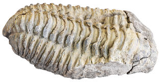 Fossilized trilobite Royalty Free Stock Photography
