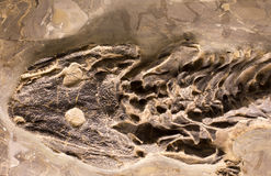 Fossils of amphibian in rock royalty free stock photos