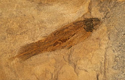 Fossils of ancient fish in the rock Royalty Free Stock Photography