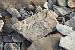Fossils at Joggins Fossil Cliffs, Nova Scotia, Canada. Fossilized stone at World Heritage SIte Joggins Fossil Cliffs, Nova Scotia, Canada stock image