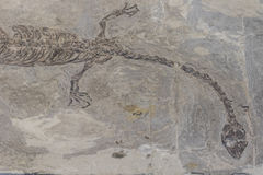 Fossils. Museum of fossils, including dinosaurs, birds, fish, showing the evolution of life history Stock Image