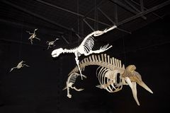 Fossils at the Museum of Paleontology Egidio Feruglio in Trelew city, Patagonia, Argentina. Its permanent and travelling exhibitions focus on the fossil stock photography