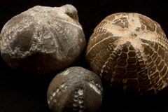 Fossils of sea urchins macro Royalty Free Stock Images