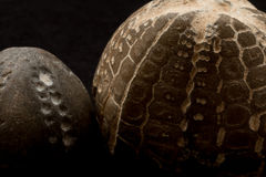 Fossils of sea urchins macro Royalty Free Stock Photos