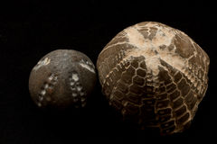 Fossils of sea urchins macro Royalty Free Stock Image