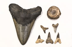 Fossils of Shark Teeth. 25 million year old Megaladon shark tooth and five sixty million year old teeth and vertebrae Stock Photography