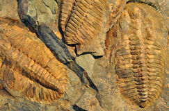 Fossils - Trilobite Stock Photography