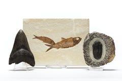 Fossilsammlung lizenzfreie stockfotos