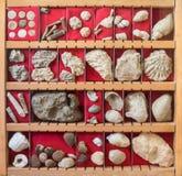 Fossilsammlung Stockfotografie