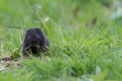 Fossorial Water Vole. Black fossorial water vole lives away from water eating grass looking towards the camera Stock Photography