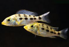 Fossorochromis rostratus Royaltyfri Foto