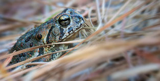 Foster's Toad Royalty Free Stock Images