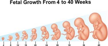 Foster- tillväxt från 4 till 40 veckor royaltyfri illustrationer