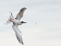 Foster's tern hovering while fishing Royalty Free Stock Images