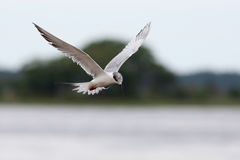 Foster's tern hovering while fishing Stock Photos
