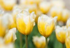 Fosteriana Tulips (Tulipa fosteriana) Stock Images