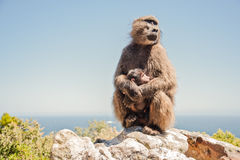Fostra babianen och behandla som ett barn Fotografering för Bildbyråer
