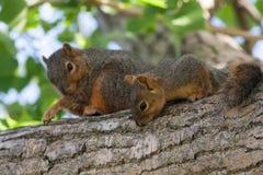 Fostra & behandla som ett barn ekorren i ett träd Arkivbild