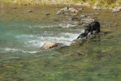 Fostra björnen som hjälper hennes gröngöling stucked i floden fotografering för bildbyråer