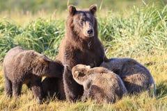 Fostra brunbjörnen, och trillingar, som dricker, mjölkar från moder Arkivfoto