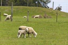 Fostra får med lamben Arkivfoton