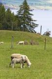 Fostra får med lamben Royaltyfri Bild