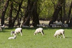 Fostra får med lamben Royaltyfri Fotografi