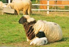 Fostra får och henne lamben i en lantgård Arkivfoton