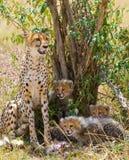 Fostra geparden och hennes gröngölingar i savannahen kenya tanzania _ Chiang Mai serengeti Maasai Mara Royaltyfri Fotografi