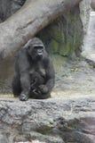 Fostra gorillan och behandla som ett barn Royaltyfri Foto