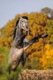 Fostra hästen Arkivfoto
