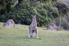 Fostra kängurun med en behandla som ett barn i påsen som ser framåt på grönt gräs Fotografering för Bildbyråer