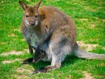 Fostra kängurun och behandla som ett barn arkivfoton