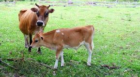 Fostra kon och hennes kalv i ängarna, Australien arkivfoton