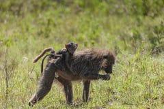 Fostra och behandla som ett barn babianapan i Serengetien Fotografering för Bildbyråer
